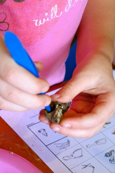 close up of a homeschooled child dissecting an owl pellet